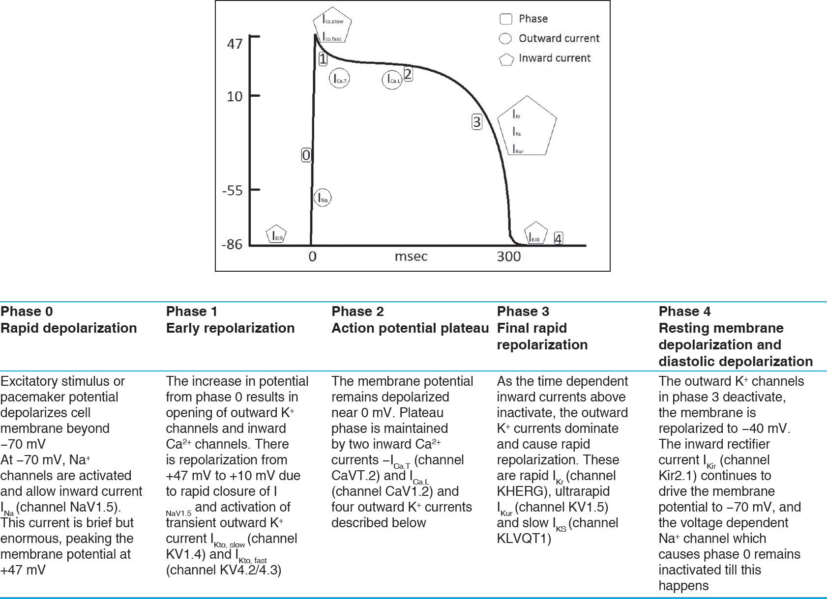 Figure 1: Phases of the ventricular action potential with description of major events[1]